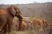 Encounter with elephants by safaribears