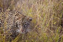 Leopard by safaribears