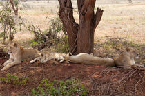 Lion family resting in the African Heat von safaribears