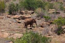 Elephant by safaribears