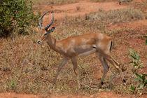 Young Impala by safaribears