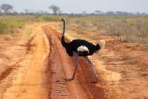 Ostrich by safaribears