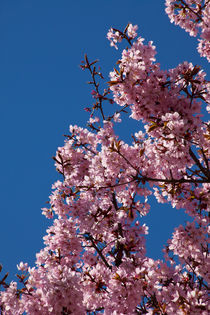 Sakura in Esslingen by safaribears