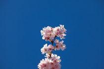 Sakura in Germany by safaribears
