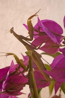 Mantis-religiosa-10-kopie