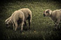 Sheep II von gnubier