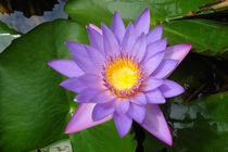 Purple Lily Flower by goldlens