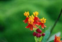 Flower by goldlens