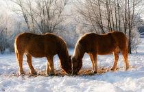 Winterpferde
