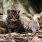 Wildcat-and-kitten-img-0284