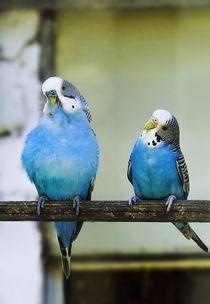 Hello blue von marta-b