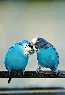 Parakeet love von marta-b