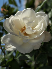 Exquisite-white-rose