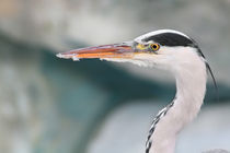 great blue heron by André Zeischold