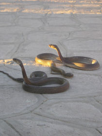 [Egypt] - Charmed snakes by Dave ten Hoope