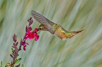 Rufous Hummingbird [Selasphorus rufus] von Barbara Magnuson & Larry Kimball