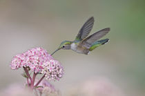 Broad-tailed Hummingbird [Selasphorus platycercus] by Barbara Magnuson & Larry Kimball