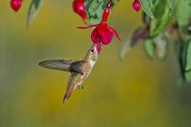 Rufous Hummingbird [Selasphorus rufus] by Barbara Magnuson & Larry Kimball