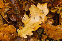 Oak leaves von Barbara Magnuson & Larry Kimball