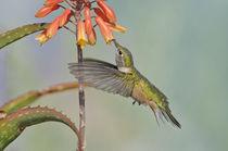 Broad-tailed Hummingbird [Selasphorus platycercus] by Barbara Magnuson & Larry Kimball