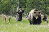 Grizzly Bear [Ursus arctos] by Barbara Magnuson & Larry Kimball