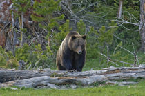 Grizzly Bear Approach! von Barbara Magnuson & Larry Kimball