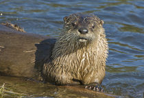 North American River Otter [Lutra canadensis] by Barbara Magnuson & Larry Kimball