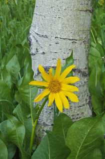 Northern Mule's Ears [Wyethia amplexicaulis] by Barbara Magnuson & Larry Kimball