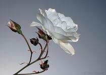 Rosa Blanca von Mirza Ajanovic