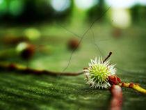 Chestnut  by Agnieszka  Grodzka