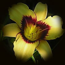 Yellow and Magenta Daylily by Larry Eiring