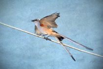 Scissor-tailed Flycatcher von Betty LaRue