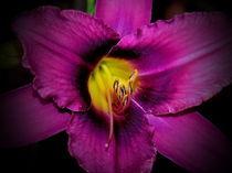 Deep-purple-daylily-1