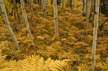 Aspen grove & Bracken Ferns in autumn von Barbara Magnuson & Larry Kimball