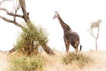 Camelopard Giraffe High Key by Víctor Bautista