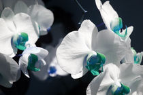 Blue Orchids by Barbara Roma