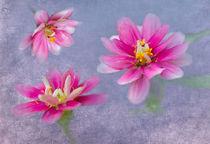 Pink Zinnia Triplets von Betty LaRue