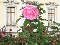schönste Rose in schöner Umgebung by Dietmar Mittmann