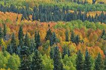 Autumn Aspen Forest von Barbara Magnuson & Larry Kimball