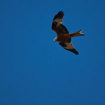Red Kite by safaribears