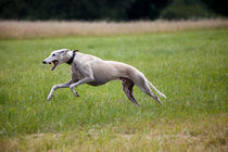 Sighthound speeding up by safaribears