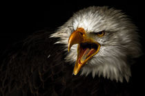 american bald eagle V by André Zeischold