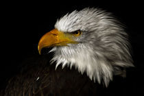 american bald eagle III by André Zeischold