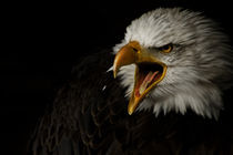 american bald eagle II by André Zeischold