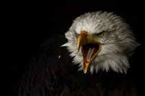 american bald eagle I by André Zeischold