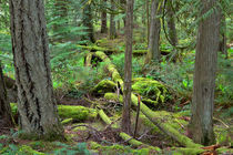 Temperate Rainforest by Louise Heusinkveld