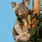 Koala-img-9047