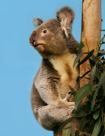 Koala in eucalyptus tree  by Linda More