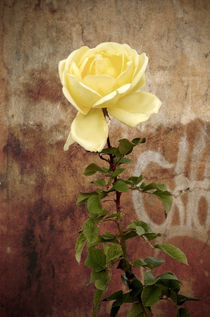 Winter rose von RicardMN Photography