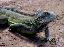 Iguana in the road by Adriana Schiavon
